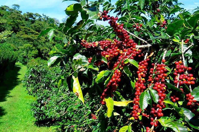 Blue Mountain Coffee Tour from Ocho Rios