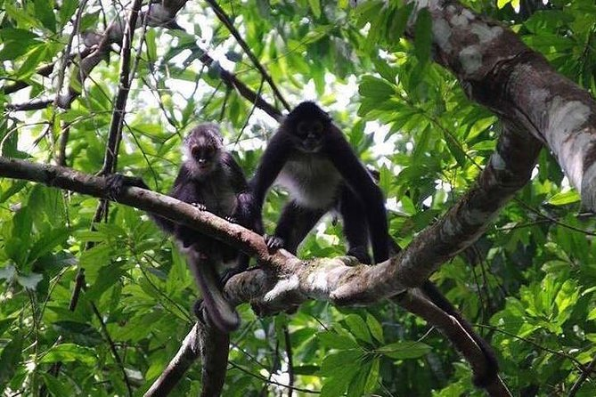 Monkeys in Monkey River Tour