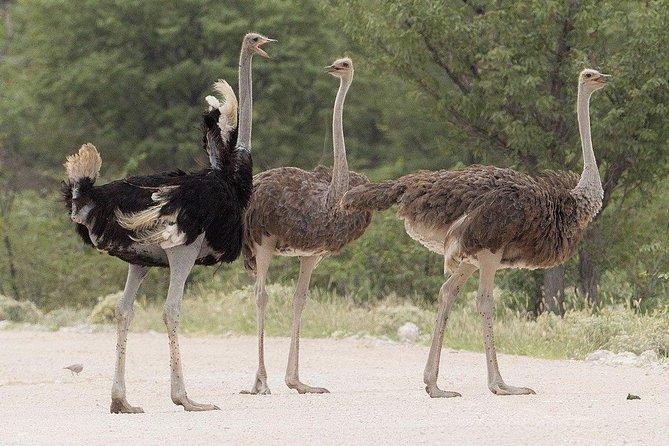 Nairobi Guided Day Tour To Masai Ostrich Farm