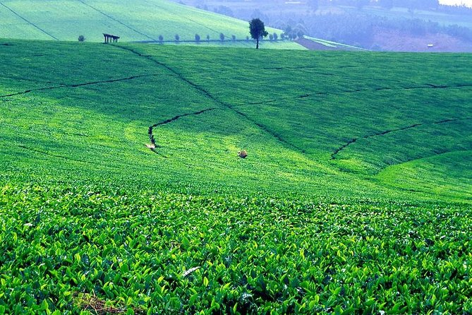 Nairobi Day Tour to Kiambethu Tea Farm & Lunch