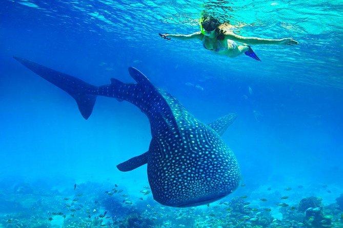 Budgeted from Bohol to Oslob Cebu Whale Shark Experience