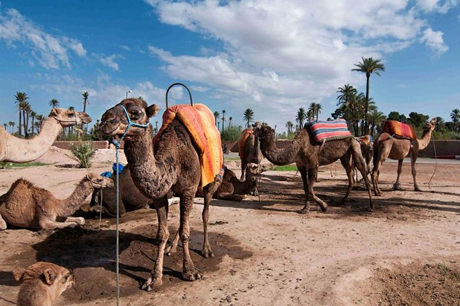 Morocco Camel Ride In The Palm Groves of Marrakech