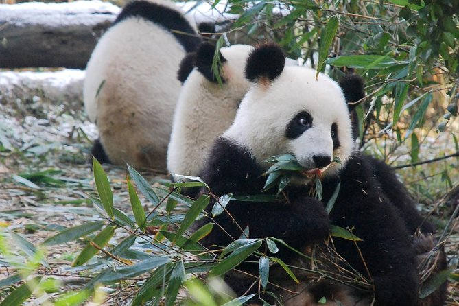 Giant Panda and Buddha 1 day tour