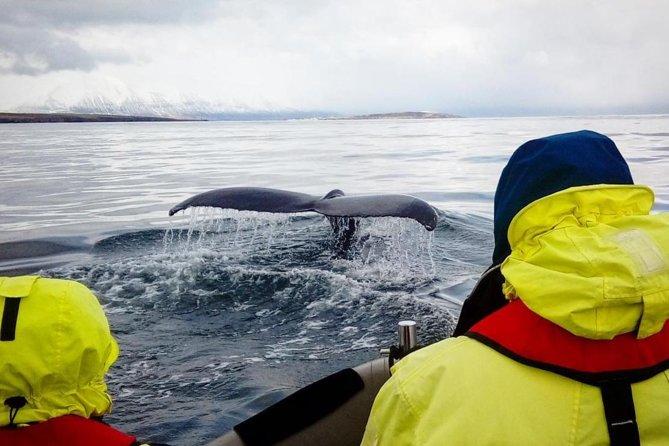Whales, Eyjafjörður and Akureyri by RIB