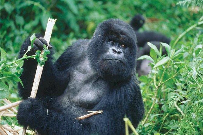 3-Day Rwanda Gorilla Safari from Kigali
