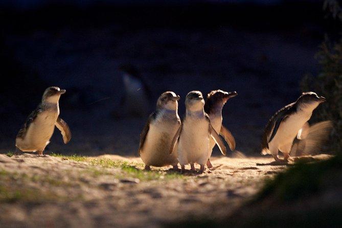 Excursão de um dia pelo desfile de pinguins no pequeno grupo em Phillip Island saindo de Melbourne