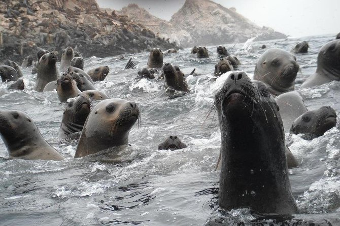 Visit the Sea Lions in Palomino Islands, in Lima Peru