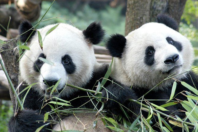 Private Half-Day Chengdu Panda Breeding Center Tour with Optional Volunteer