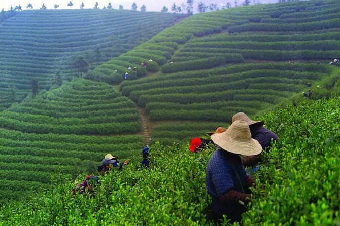 Experience Chengdu: Private Tea-Making Day Tour of Mengdingshan Tea Plantation