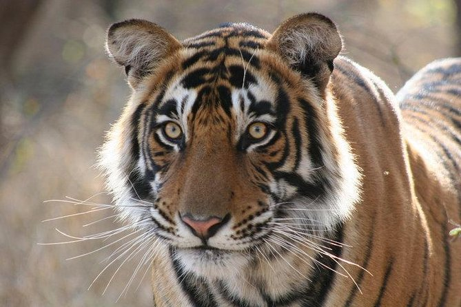 4-Day Ranthambore Tiger Safari Tour to Agra and Jaipur from Delhi