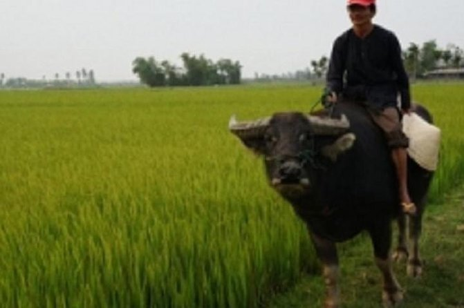 Hoi An Buffalo Cart Experience from Hoi An
