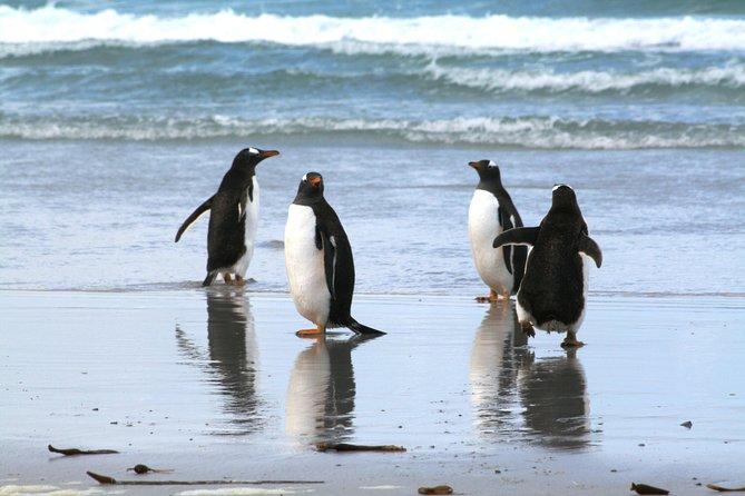 Manchots papous à la visite guidée de Berthas Beach depuis Stanley