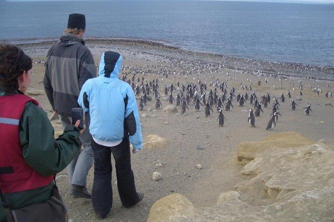 Excursão terrestre: Reserva Natural dos pinguins de Magalhães na Ilha Magdalena, saindo de Punta Arenas