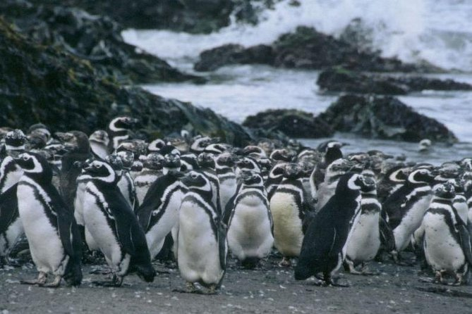 Penguins of Puñihuil and Ancud in Chiloe Island