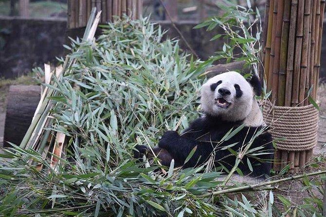Un día Panda Keeper Voluntario en Dujiangyan
