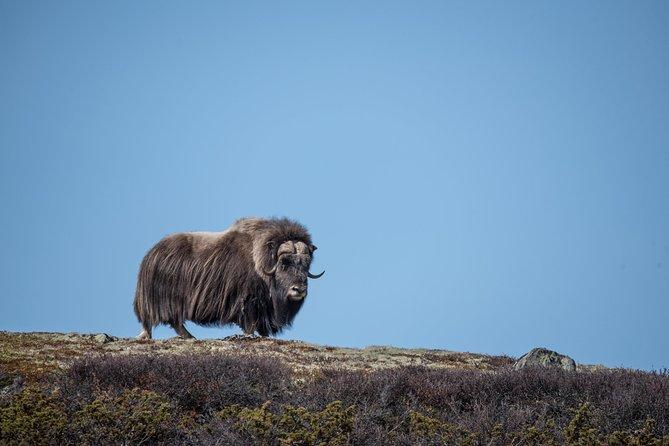 Safari à la découverte des bœufs musqués dans le parc national de Dovrefjell au départ d'Oppdal
