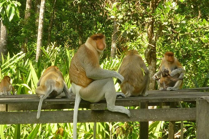 SANDAKAN WILDLIFE Orang Utan, Proboscis Monkey, Sunbear SANCTUARIES photo 2