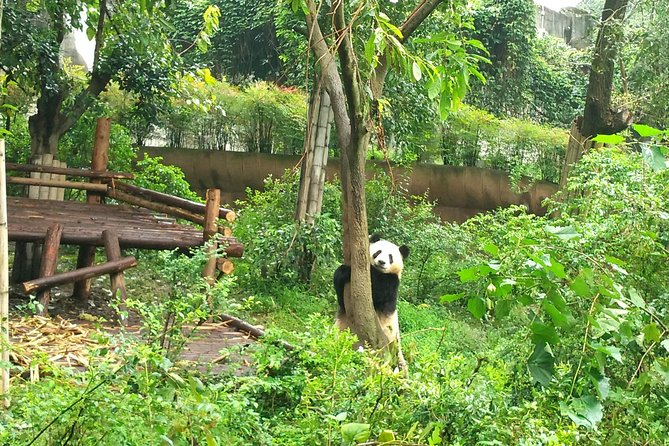 Chengdu Private Panda Trip with Afternoon Private Custom Tour photo 1