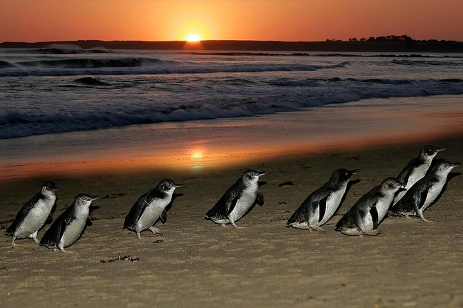 Boutique Journey to Phillip Island with Penguin Parade in stylish Mercedes-Benz photo 6