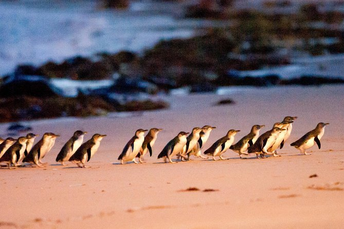Phillip Island Penguin Parade Entry og Express Shuttle fra Melbourne