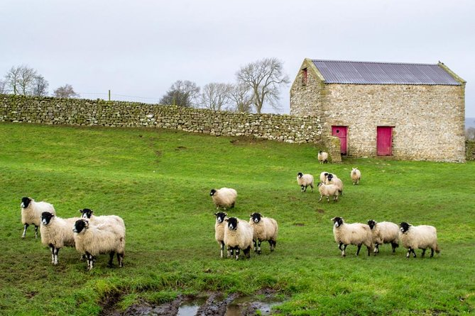 Sheep in the Yorkshire Dales