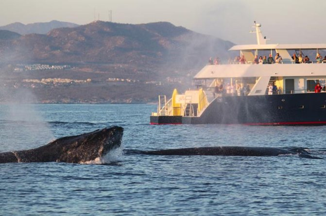 Whale-Watching Discovery Cruise with Brunch or Dinner
