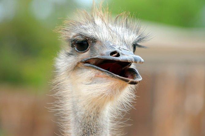Ostrich, Oudtshoorn