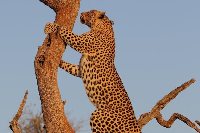 Go in search of leopards on your morning game drive of Kruger National Park