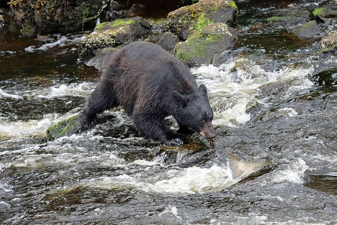 Black bear fishing salmon in the creek.