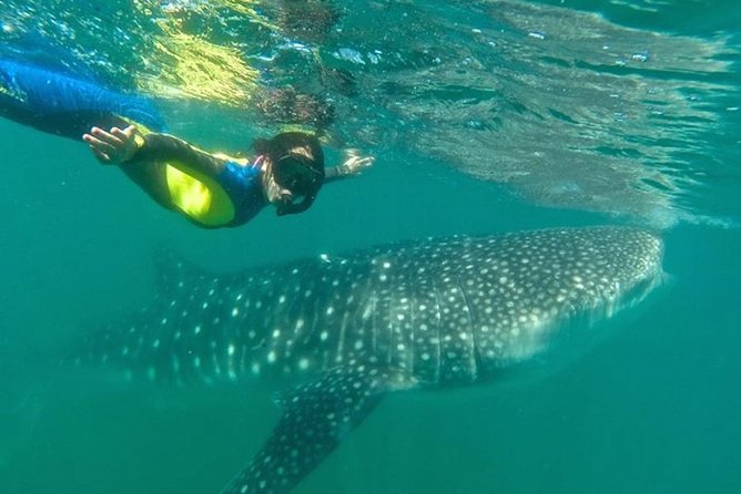 Whale Shark Swim Adventure in La Paz
