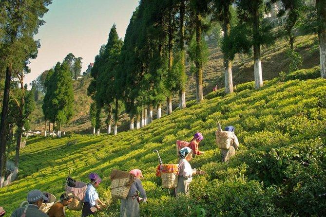 Excursion to Tea Estate Tour With Tea Processing Tour with Transportation