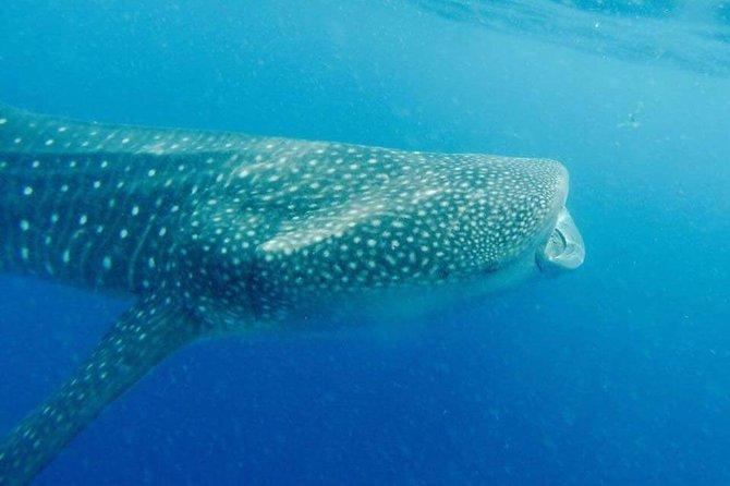 Swim With Whale Sharks Cancun and Riviera Maya