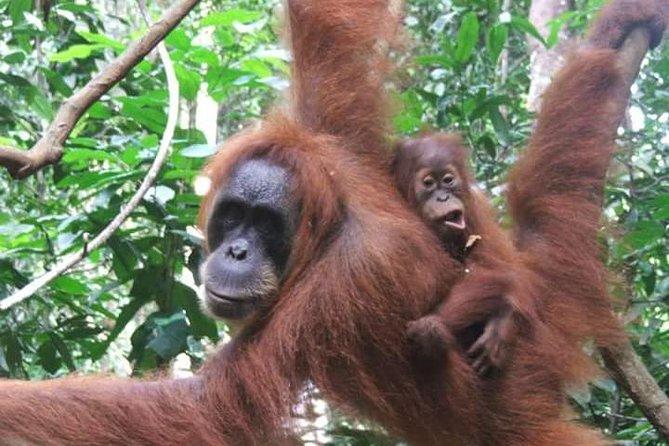Sumatra Half-Day Orangutan Trek from Bukit Lawang