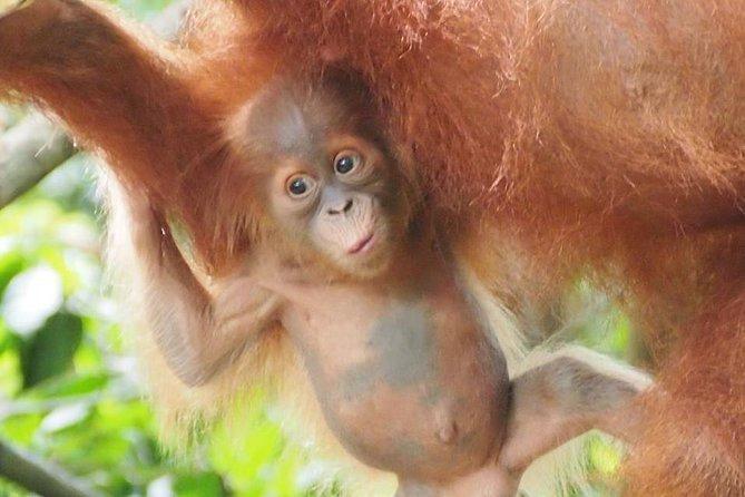 6 Day North Sumatra Jungles Orangutans Overnight trek and Hot Springs