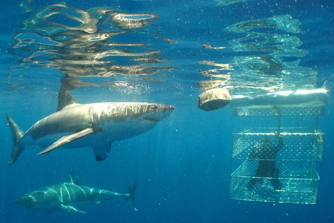 Shark Cage Diving Full-Day Tour from Cape Town
