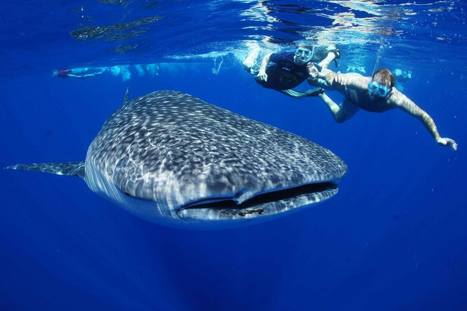 Swim with Whale Sharks All Inclusive Tour from Los Cabos