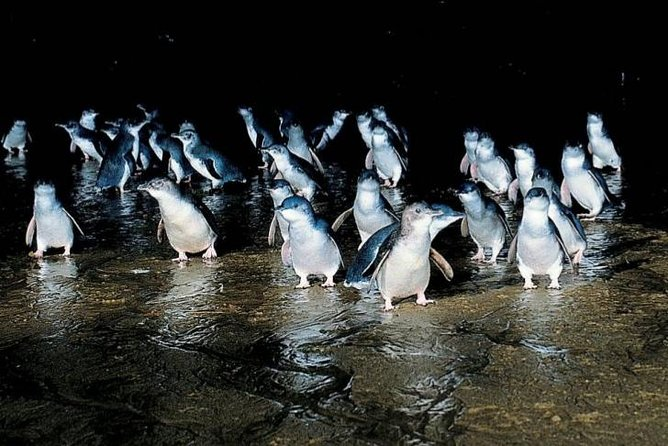 Private Phillip Island Penguin Parade Tour
