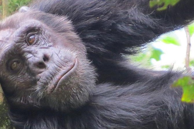 1-Day Chimpanzee Tracking Tour in Budongo Forest Reserve