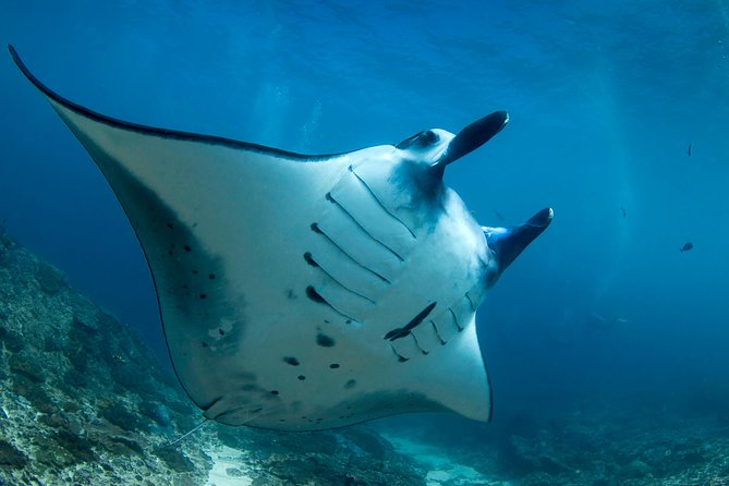 Snorkelling with Manta Rays Bali