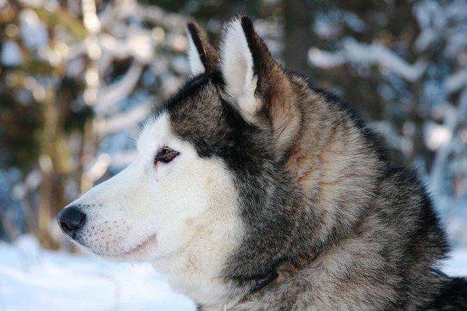 Riga Husky Dog Sledding