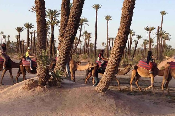 Dromadery in Marrakech Palm groves