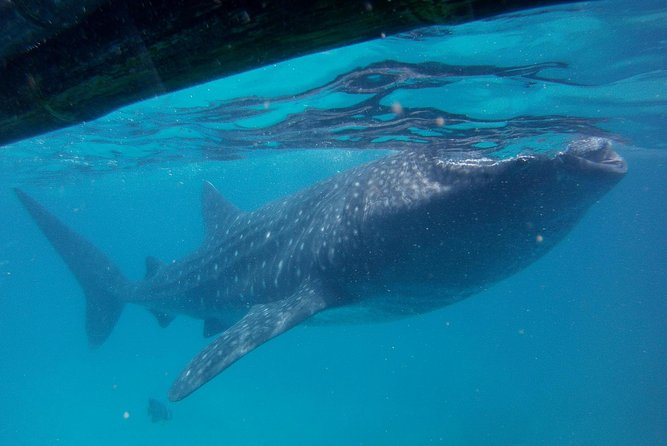 Small-Group Whale Shark Watching Trip in Oslob from Cebu