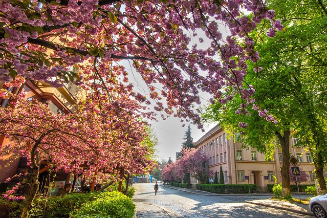 Oriental cherry trees in Uzhgorod