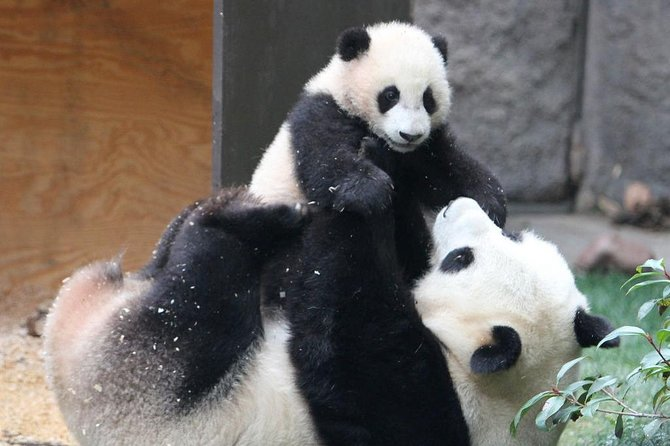Pandas and History of Chengdu Day Tour from Guangzhou by Air