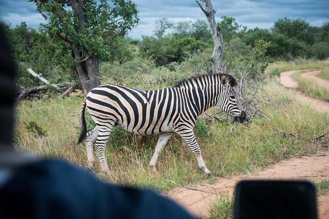 Zebra passes in front of vehicle