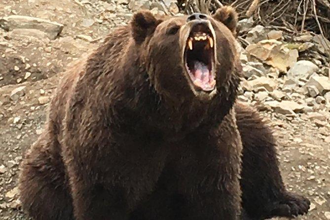 Bären und ein Geschmack von Sitka