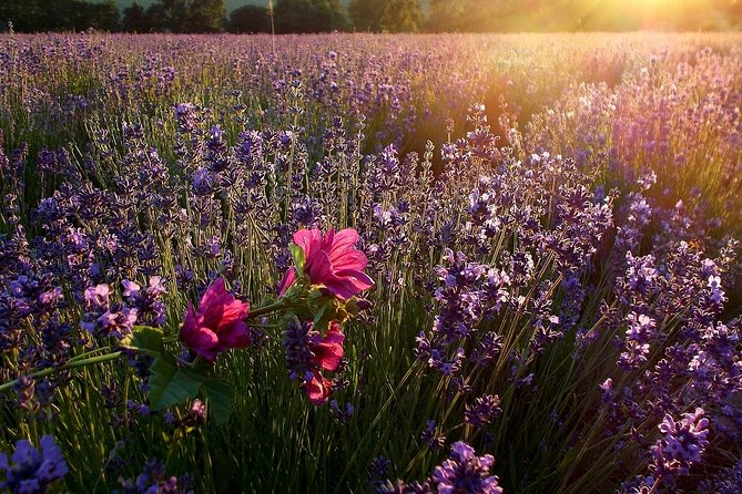 Lavender Sunset Experience : Private Chauffeur