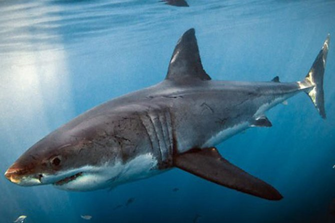Shark Cage Diving In Gansbaai Private Shuttle From Cape Town