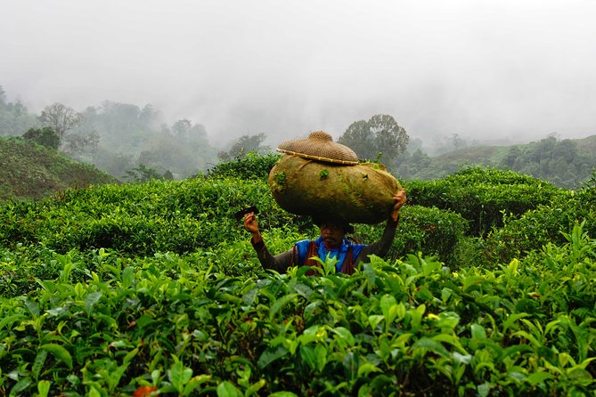 Half-Day Tea Harvesting and Making in Yogyakarta