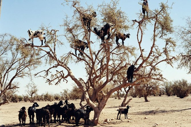 Goats on the Tree Trip in Agadir